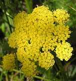 Cymopterus lemmonii (Mountain Parsley)