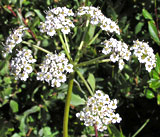 Conioselinum scopulorum (Hemlock Parsley)