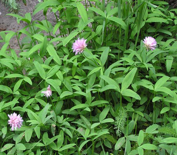 Trifolium hybridum page