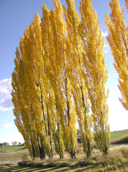 Lombardy poplars hold their golden yellow leaves for many weeks