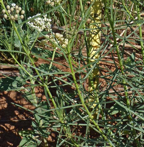 Southwest Colorado Wildflowers, Asclepias subverticillata