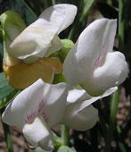 گون Astragalus bisulcatus