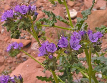 Southwest Colorado Wildflowers Phacelia Crenulata
