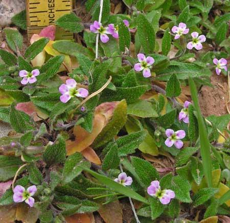 Southwest Colorado Wildflowers Strigosella Africana