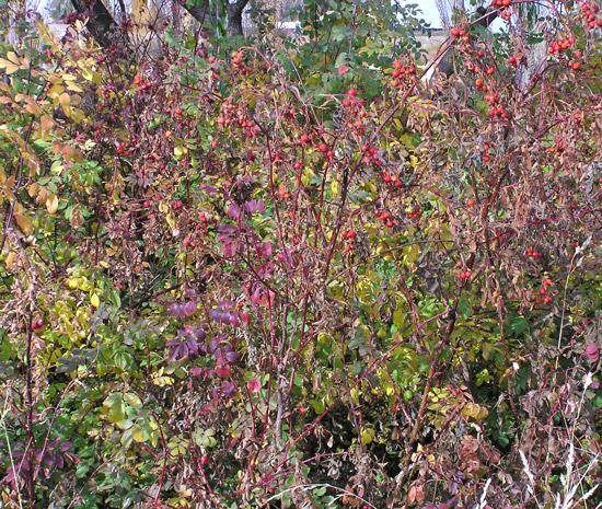 Southwest Colorado Wildflowers, Rosa woodsii