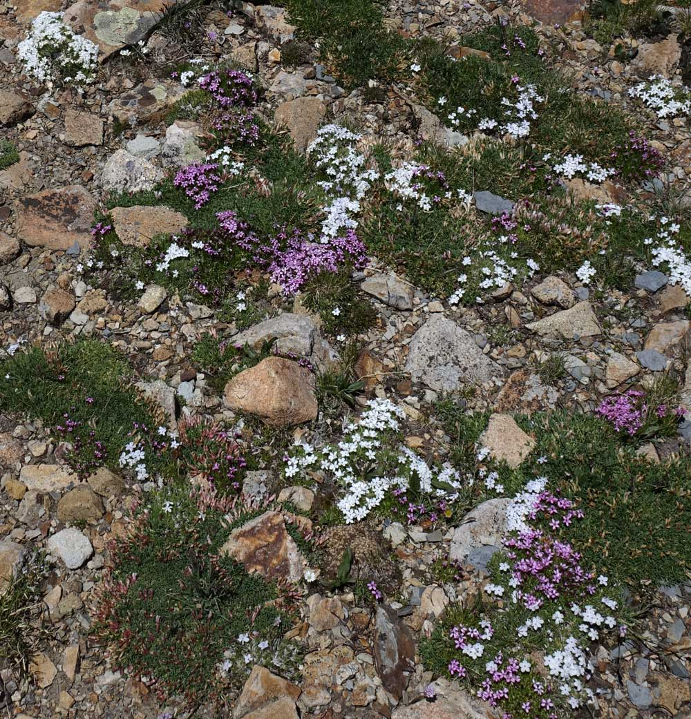 Southwest Colorado Wildflowers Silene Acaulis