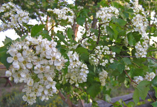 Southwest colorado wildflowers crataegus cratageus mightylinksfo