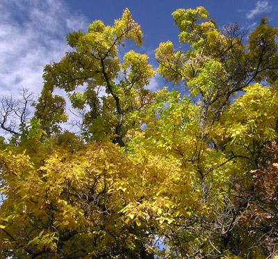 Southwest Colorado Wildflowers Acer Negundo