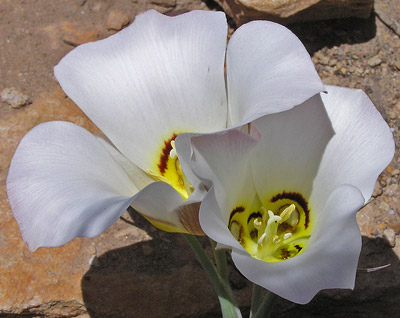 Field Of Sego Lily