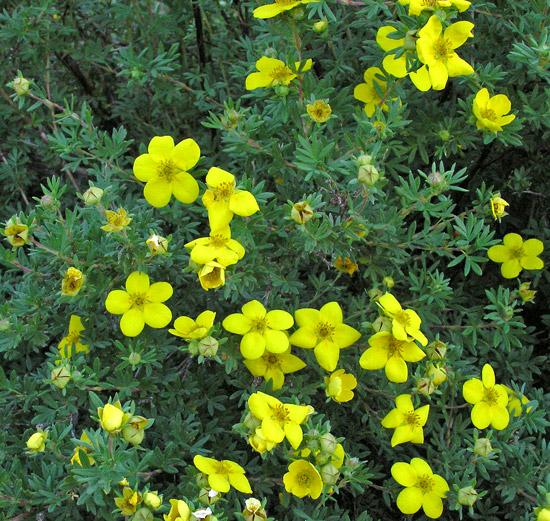 Southwest colorado wildflowers dasiphora fruticosa dasiphora fruticosa subspecies floribunda mightylinksfo
