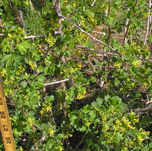 Southwest colorado wildflowers ribes aureum ribes aureum golden currant grossulariaceae gooseberry family mightylinksfo