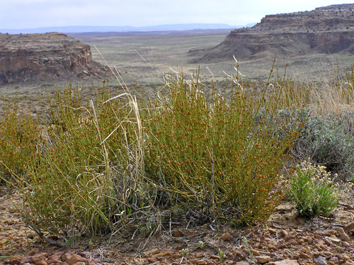 Southwest Colorado Wildflowers, Ephedra