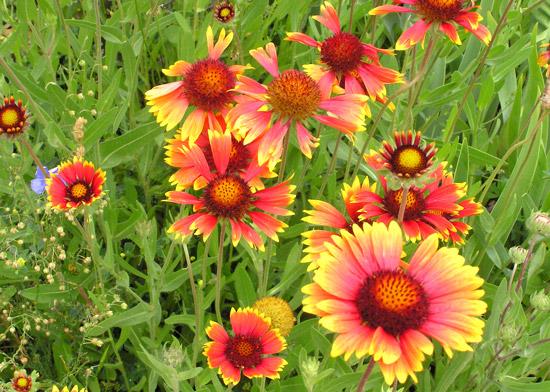 Southwest Colorado Wildflowers Gaillardia Pinnatifida