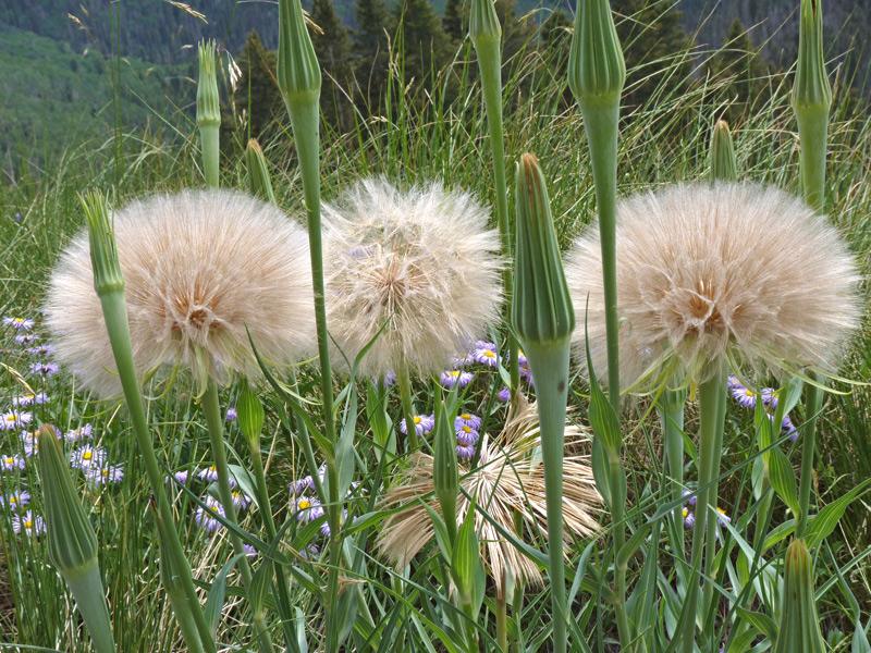 Southwest colorado wildflowers tragopogon tragopogon dubius mightylinksfo
