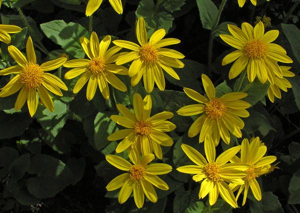 Southwest colorado wildflowers arnica mightylinksfo