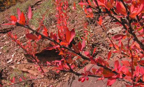 Berberis fendleri